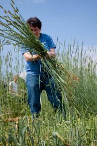 Abby gathers rye.